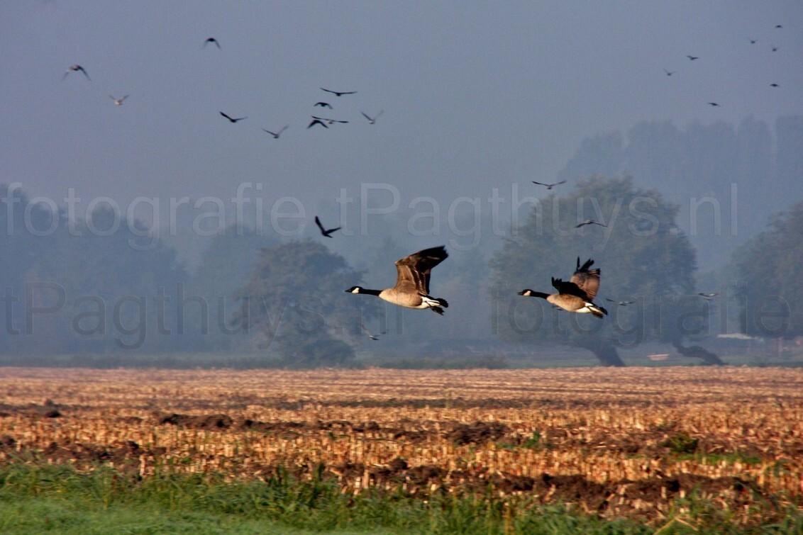 Opvliegende ganzen - Opvliegende ganzen plus een lucht vol andere vogels boven een net gemaaid rietveld nabij kasteel Heemstede te Houten. - foto door J0hn op 04-11-2011 - deze foto bevat: ochtendmist, vogels, ganzen, rietveld