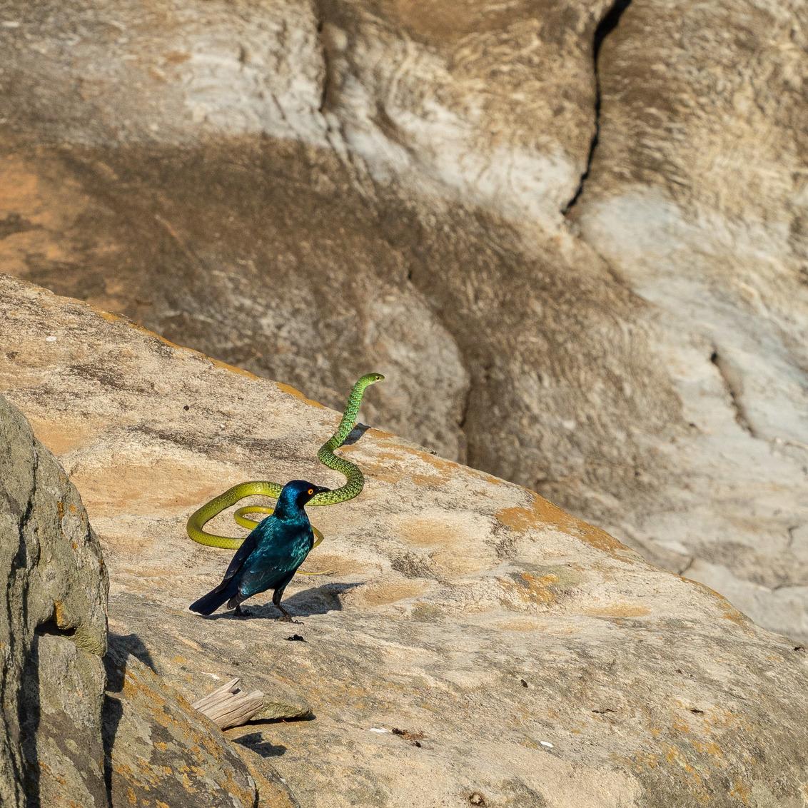 Twee zielen, één blik. - De spreeuw pikt de slang eenmaal in zijn staart en daarna zijn ze gefascineerd door iets, maar wat? Ik heb het niet kunnen vinden. - foto door EvdBrink op 03-10-2018 - deze foto bevat: natuur, safari, afrika