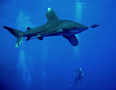 Oceanic Whitetip Shark cruising