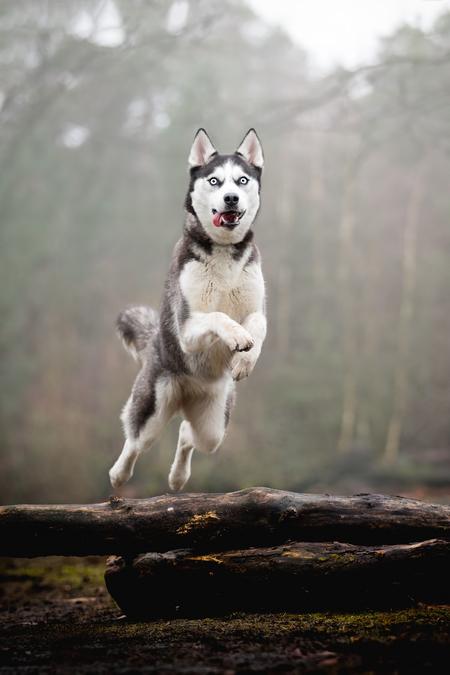 Flying Husky - Ook in sprong zijn ze prachtig! Deze Husky had er veel plezier in. - foto door Boske op 01-03-2021 - deze foto bevat: dieren, bos, hond, actie, springen, husky, hondenfotografie, spong