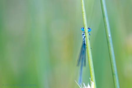 Blue eyes - Bedankt voor alle leuke reacties op het 'vlammetje'.   Ik wens iedereen een fijne dag, het zonnetje schijnt, het wordt boven 0 Celsius, wat wil een - foto door brinkbeest op 02-07-2013 - deze foto bevat: macro, waterjuffer, dieren, insecten, ogen