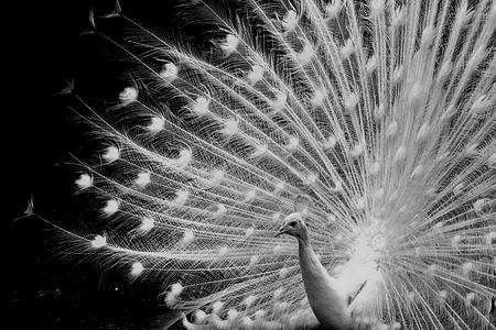 witte pauw - witte pauw met gespreide veren voor een zwarte achtergrond - foto door fotohela op 11-04-2021 - locatie: Hoorn 59, 2404 HG Alphen aan den Rijn, Nederland - deze foto bevat: pauw, wit, witte, veren, verenpracht, avifauna, alphen aan den rijn, pauw, vogel, fabriek, oog, phasianidae, bek, boom, zwart, galliformes, organisme