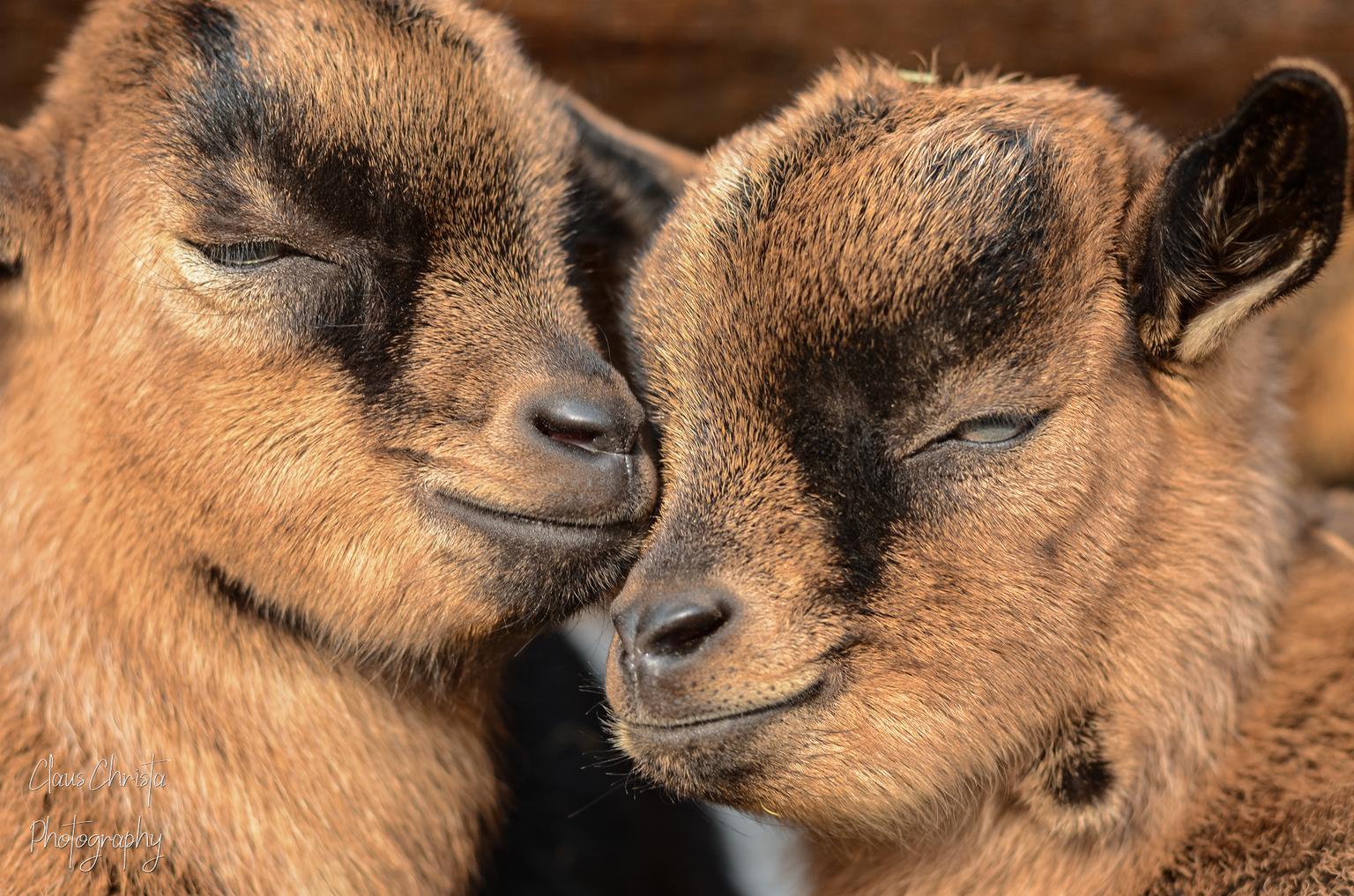 Loving twins - Kleine geitjes in de lente - foto door Christa66 op 12-04-2021 - deze foto bevat: geit, jonge geitjes, dier, dierenpark, pairi daiza, hoofd, carnivoor, felidae, bakkebaarden, fawn, aanpassing, terrestrische dieren, detailopname, grote katten, vacht