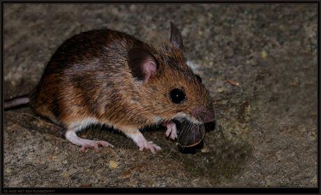 De muis met een pijnboompit.