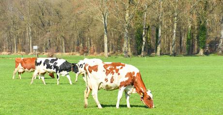 DSC_2034 Voorjaar voor het vee.