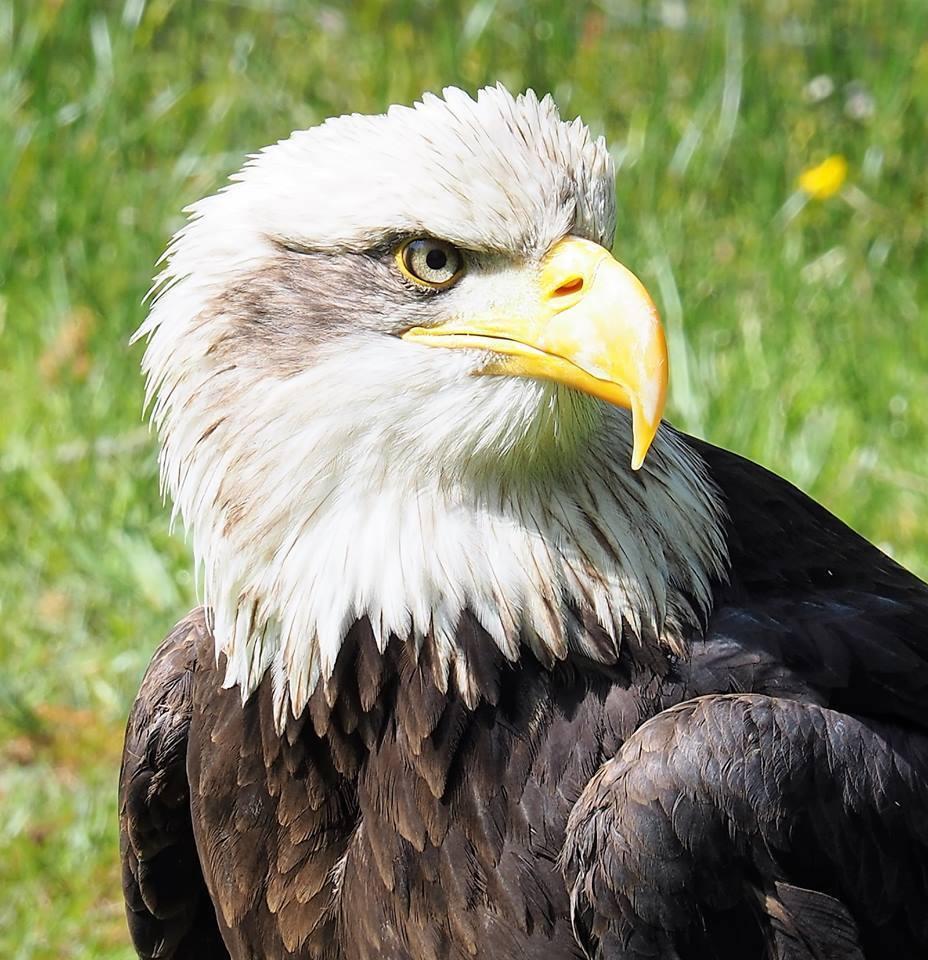 heb ik iets van jou aan? - een aantal jaren geleden werden we door een van de standhouders uitgenodigd om naar de Lentiade in Nieuwkuijk te komen, er was daar ook een vogelshow - foto door Tonny1946 op 29-11-2020 - deze foto bevat: groen, wit, oranje, zwart, adelaar, braderie, nieuwkuijk, ogen.struiken, mei 2017, lentiade