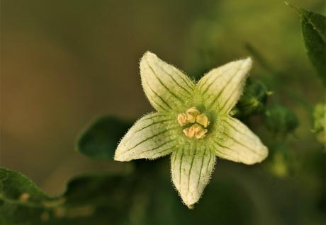 bloem van een lantaarnplantje