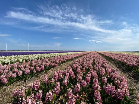 Hyacinten velden