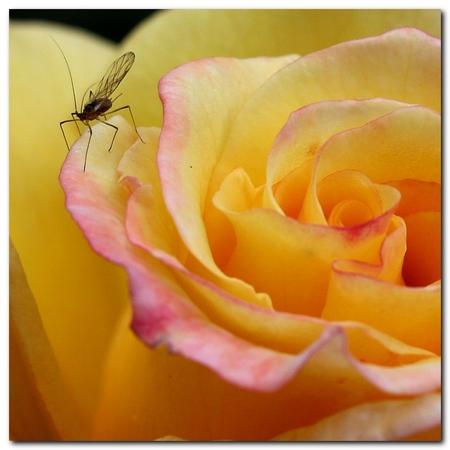 Rugelda - Roos Rugelda met een luisje. - foto door MarnixBakker op 18-06-2010 - deze foto bevat: bloem, roos, stekel, rugelda
