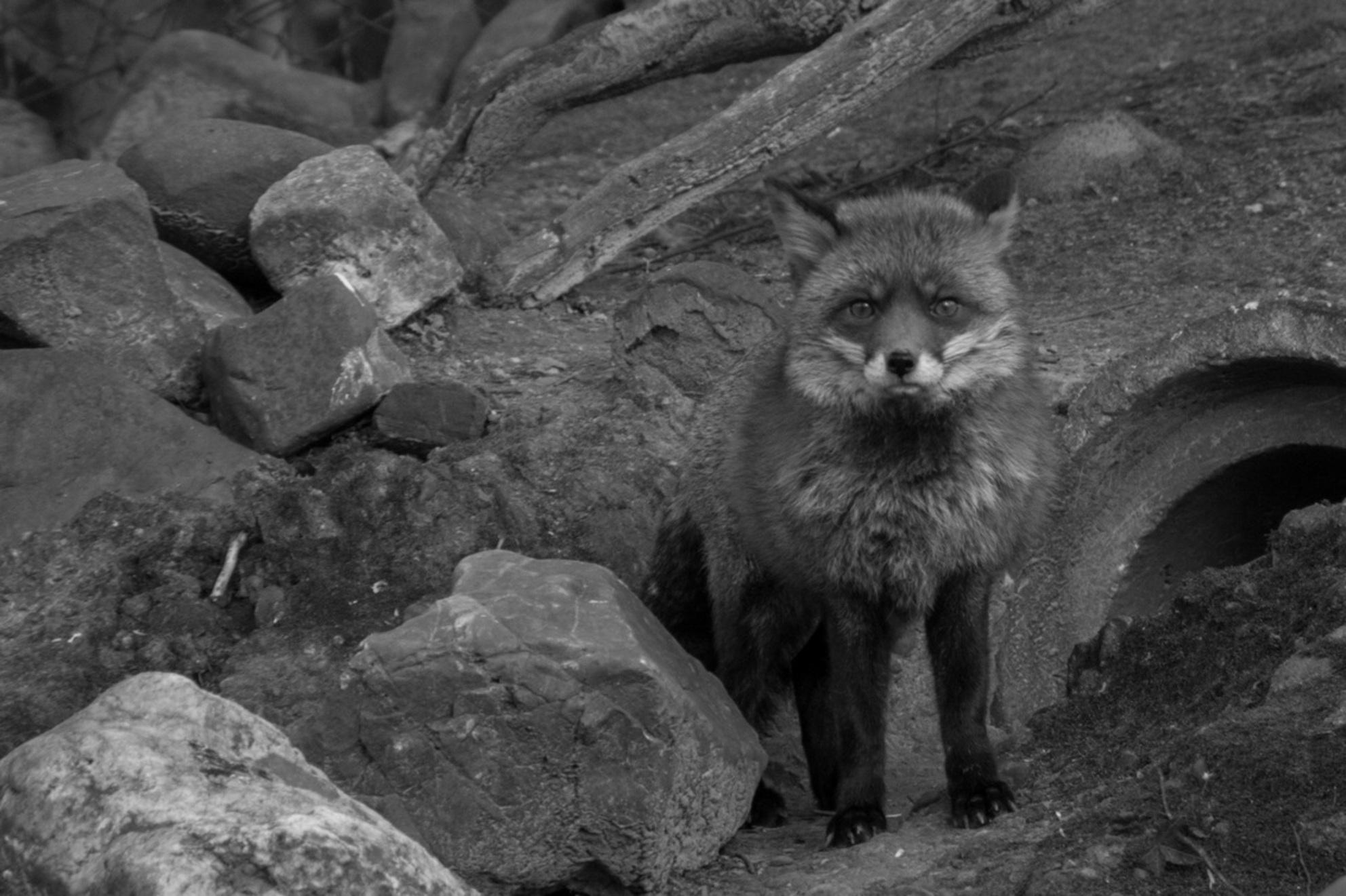 Wie ben jij ? - - - foto door lenax3x op 16-06-2015 - deze foto bevat: dierentuin, dieren, vos, lief, jong, zoo, cute