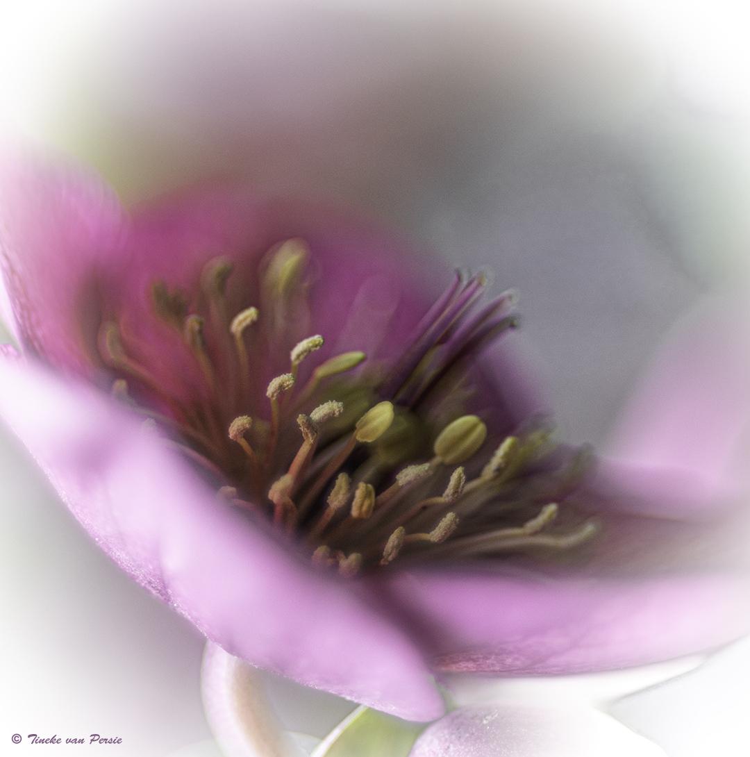 Helleborus - Nog een foto van paar weken geleden, genomen in mijn eigen tuin. Genomen met mijn vintage lens Helios 44M. en tussenring. - foto door TinekevanPersie op 10-04-2021 - deze foto bevat: bloem, helleborus, helios, van persie, soft, bloem, fabriek, bloemblaadje, roze, boom, bloesem, magenta, pedicel, terrestrische plant, detailopname