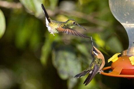 kolibrie's