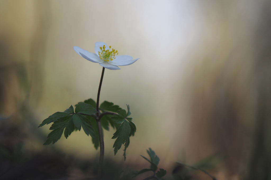 In volle bloei - Alweer van ruim een week geleden, de eerste bloeiende anemonen. Ik hoop ze dit weekend in groten getale tegen te kunnen komen. - foto door Paul1973_zoom op 24-03-2017 - deze foto bevat: macro, bloem, lente, licht, bos, bokeh