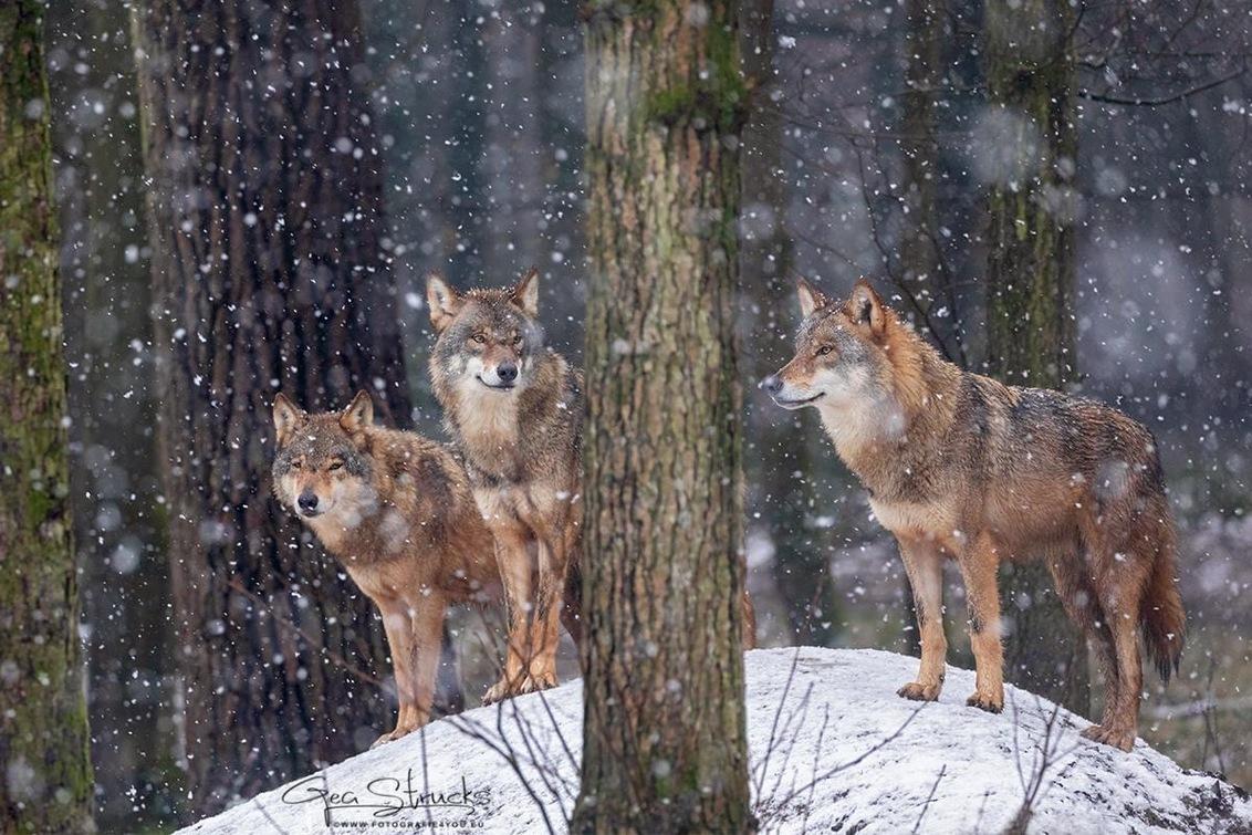 wolven in de sneeuw - Wolven in de sneeuw - foto door madcorona op 21-04-2020 - deze foto bevat: wolf, dieren, wildlife, wolven, wilde dieren