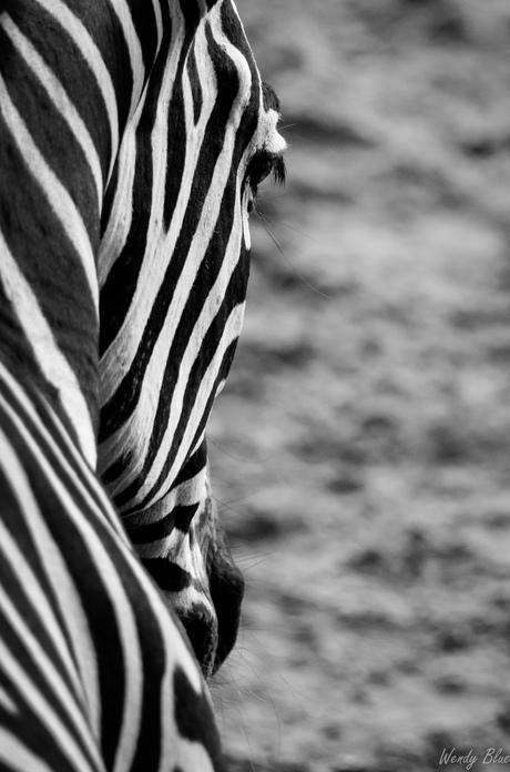 zebra in het zwart wit