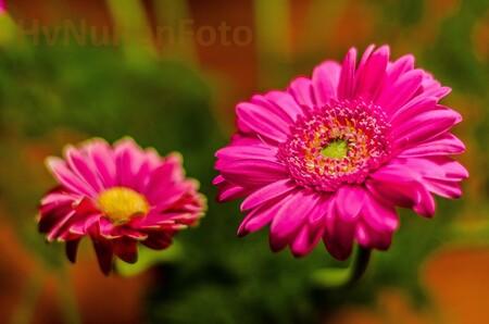 161019 Achtertuin Gerbera-3974 - - - foto door hvnunen_zoom op 25-11-2016 - deze foto bevat: macro, bloem, gerbera, natuur, tuin