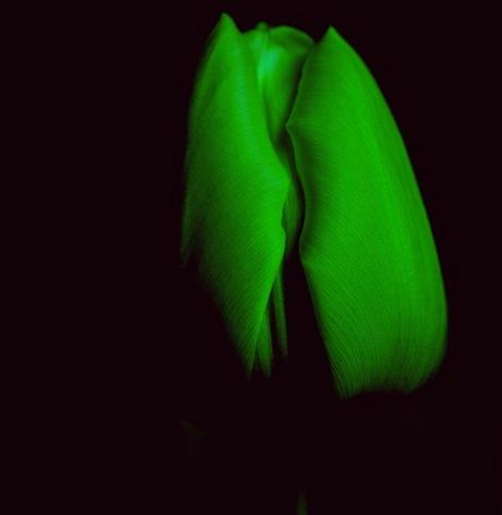 tulp in het groen