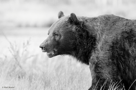 Wild Brown Bear Finland