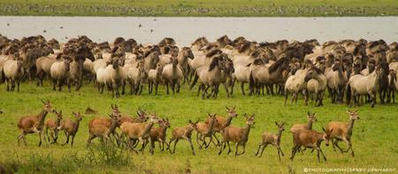 Volop in beweging - Een kudde koningspaarden opgeschrikt door een kudde hindes - foto door debbyvroon op 02-09-2012 - deze foto bevat: groen, natuur, paarden, paard, dieren, hinde, hert, actie, veulen, herten, beweging, oostvaardersplassen, kudde, rennen, vluchten, bewegen, koningspaard, op hol slaan