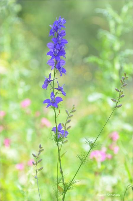 Wilde ridderspoor - Op een braak liggend stuk grond bij ons in de buurt  dit bloemetje gespot, de bloem in de schaduw gezet en het geheel een beetje overbelicht. - foto door maartje1962 op 26-06-2014 - deze foto bevat: blauw, bloem, soft, delphinium