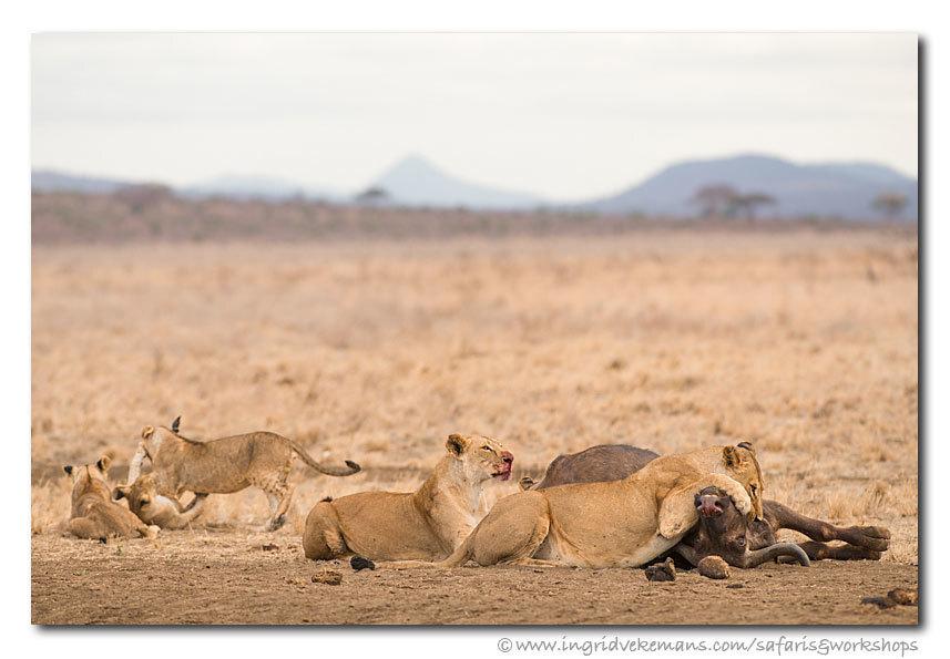 Bread And Games - Een buffel is geen makkelijke prooi voor een leeuw maar wanneer het lukt, is het wel een fantastisch feestmaal. Het duurde even voor de volwassen lee - foto door IngridVekemans op 07-07-2019 - deze foto bevat: natuur, dieren, safari, kat, leeuw, afrika, wildlife, kenia, workshop, tsavo, fotoreis, fotoreizen, fotosafari, maneaters