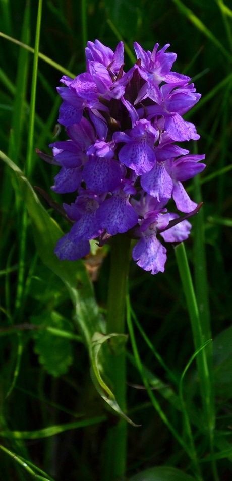 breede orchis