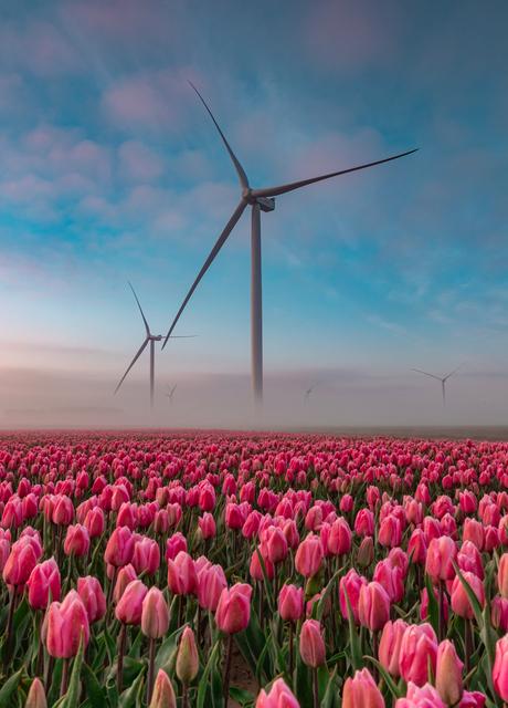 Lekker Hollands: Windmolens en tulpen