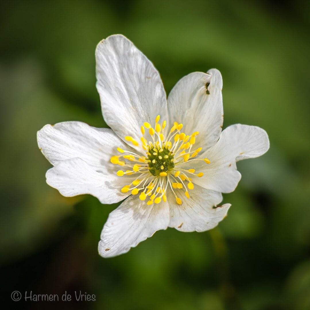 Bosanemoon - De bosanemoon (Anemone nemorosa) is een lage vaste plant uit de ranonkelfamilie (Ranunculaceae). Het is een geofyt met een wortelstok.  camera: Nikon - foto door hjdevries op 23-04-2021 - deze foto bevat: bosanemoon, macro, close-up, bloemen, natuur, macrofotografie, bloem, fabriek, bloemblaadje, gras, bloeiende plant, kruidachtige plant, pedicel, macrofotografie, onderstruik, wildflower