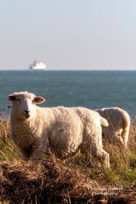 schaapjes langs de Engelse kust