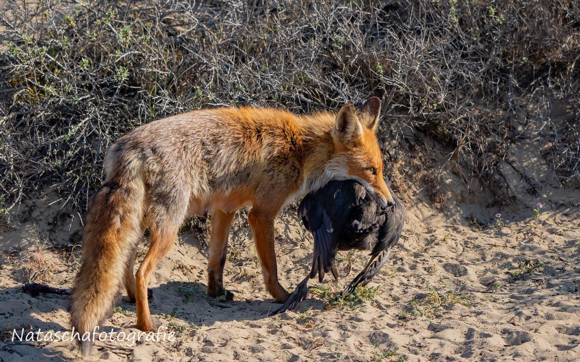 Moedervos heeft voor de lunch gezorgd. - - - foto door Taswor op 29-04-2019 - deze foto bevat: vos