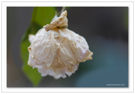 Verkleumd roosje