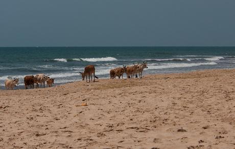 Runderen op het strand