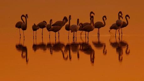Flamingo in het Avondrood