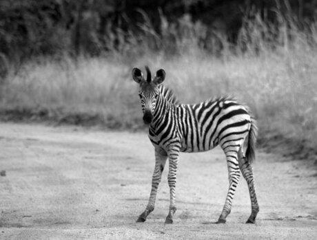 Nogmaals de zebra baby