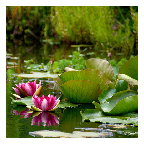 Lotus bloemen