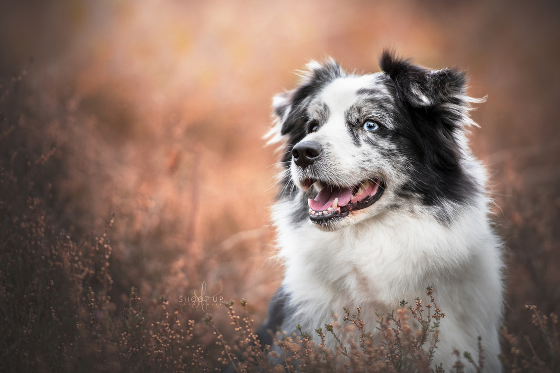 Gwynn in de hei - Gwynn in de hei, Oktober 2018 - foto door DorinevdV op 28-11-2018 - deze foto bevat: blauw, oranje, herfst, heide, hond, honden, border, blue, hei, collie, grijs, fotografie, merle, hondenfotografie