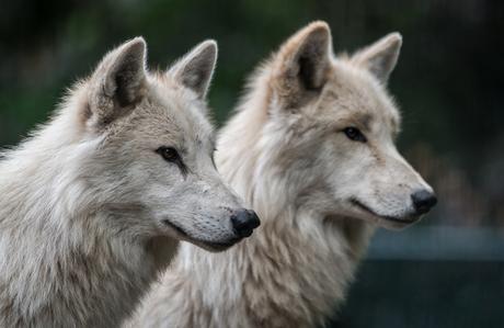 Hudson bay wolven in Artis