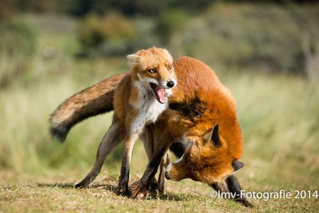 Vossen in gevecht