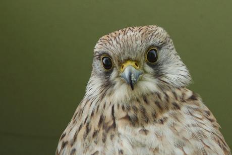 close up van vrouwtje torenvalk