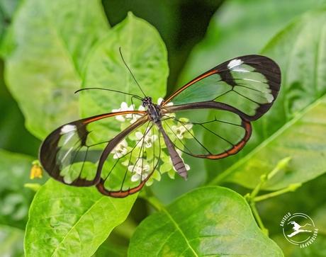 Deze glasvleugelvlinder doet zijn naam eer aan