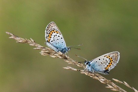 Voor Gea: Heideblauwtje 5