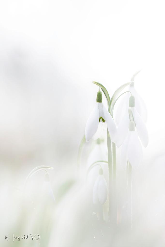 Sneeuwklok - de eerste van 2017 - foto door mgtf op 27-02-2017 - deze foto bevat: macro, wit, zon, bloem, soft, natuur, licht, sneeuwklokje, bokeh, BG