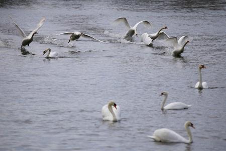 Ploselinge invasie van zwanen - 10-15 zwanen komen aan - foto door Ebben op 16-04-2021 - deze foto bevat: water, vogel, gewervelde, wit, bek, nek, vloeistof, watervogels, eenden, ganzen en zwanen, meer