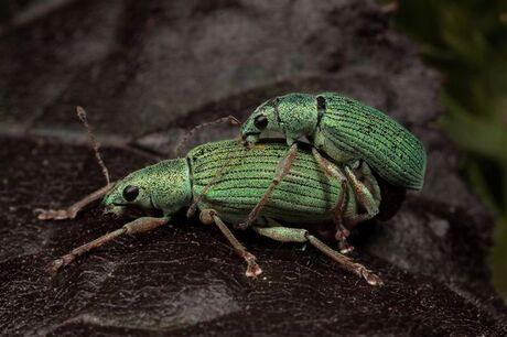 De groene snuitkevertjes zorgen voor nageslacht.