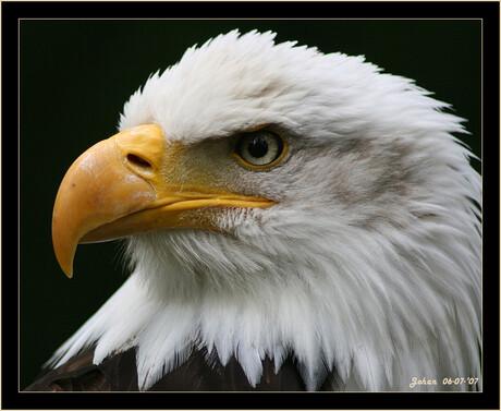 Amerikaanse Zeearend-Close up