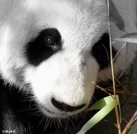 Wu Wen, panda