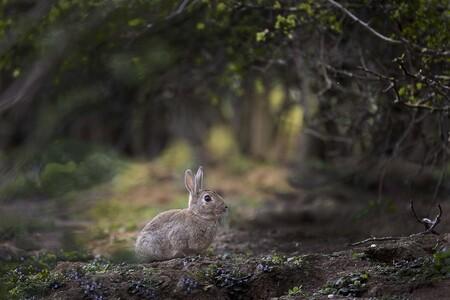 wild konijntje - soms wordt geduld beloond.  - foto door FrancoisP op 12-04-2021 - deze foto bevat: konijn, canon r6, fabriek, gewervelde, natuurlijke omgeving, boom, zoogdier, organisme, vegetatie, natuurlijk landschap, konijnen en hazen, gras