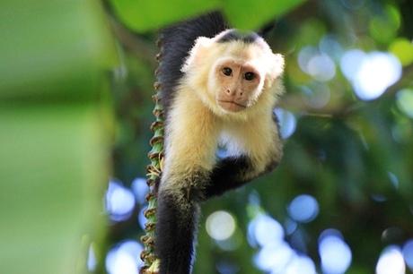 capucijn aap