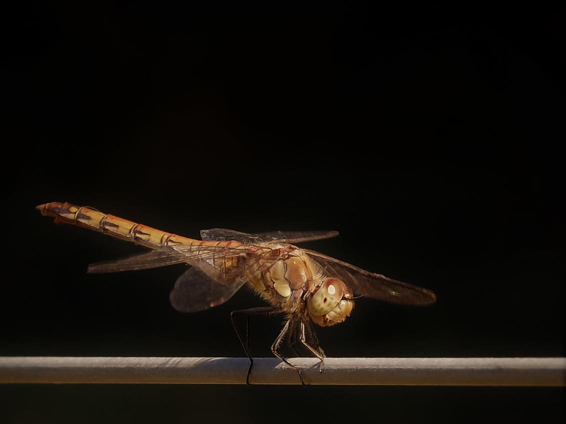 Libelle - Van de zon genietende libelle. - foto door hanshoeben51 op 19-09-2020