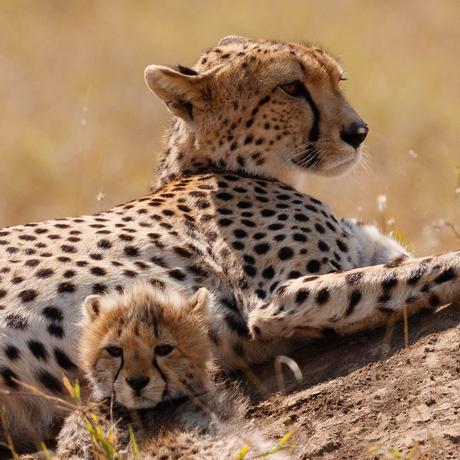 Cheeta met jong in Serengeti
